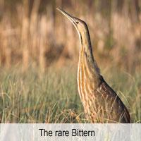 Rare Bittern